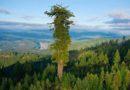 Kus kasvab maailma kõrgeim puu?