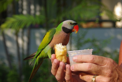 ©Hotelli Green Park Resorti alaline elanik papagoi